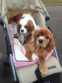 Cavalier King Charles Spaniel Rescue NSW