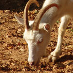 A Guide to Drought Feeding of Goats