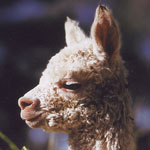 Vaccination of Alpacas... Back to Basics