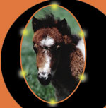 The Pet Directory Dog Article - Showing Your Miniature Horse
