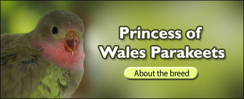 Princess Wales of Parakeet Feature Breed by Waterfall Aviaries