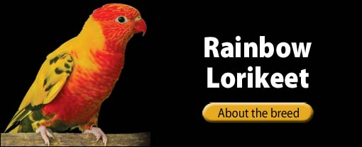 The Pet Directory - Rainbow Lorikeet Bird Breed