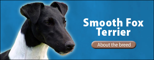 smooth fox terrier breeders the pet directory australia dogs fox terrier smooth 7618