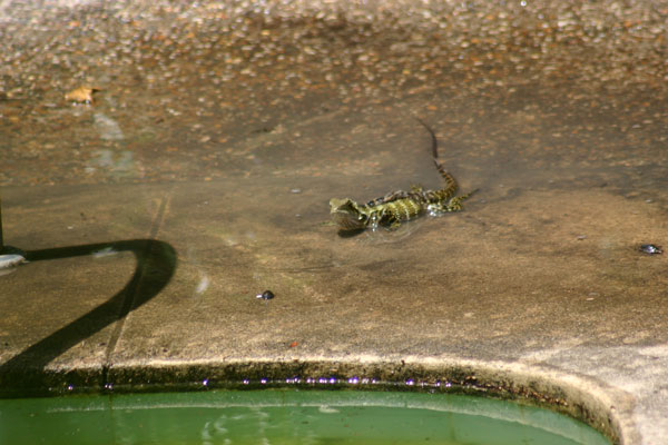 Water Dragon Taking a Swim at the Pool