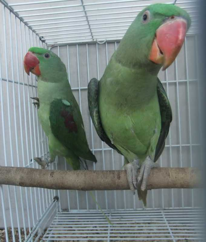 Handraised unrelated dna sexed pairs of alexandrine parrots