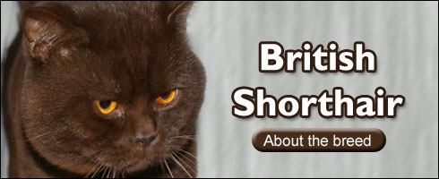 British blue cat breeders south australia