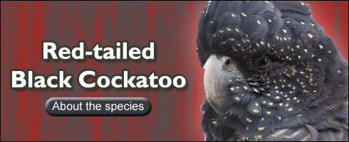Australian Read-tailed Black Cockatoo Head Shot Photo showing yellow spots on face around eyes and beak