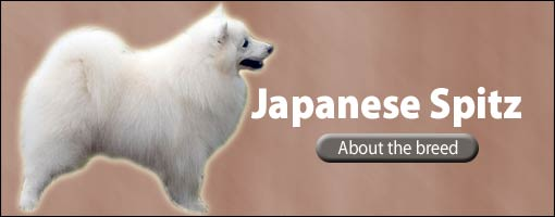 Japanese Spitz Featured Breed