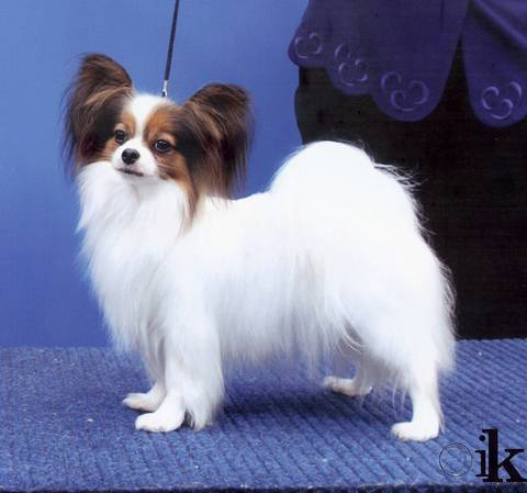 Papco Papillons Dog Breeder Vic The Pet Directory