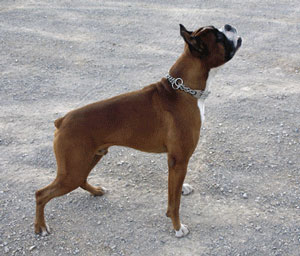 Dog with Sprenger Chain