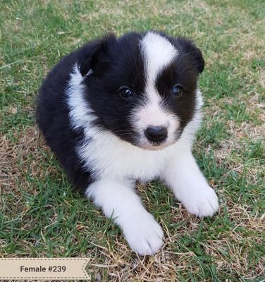 Adopt A Dog: Border Collie Puppies for Sale
