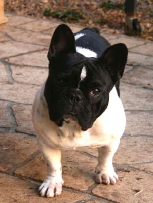 The Pet Directory Australia - Dogs French Bulldog - World's largest