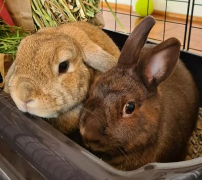 Adopt A Rabbit: FLUFFY AND PETER - Sydney