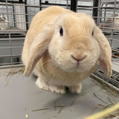 Adopt A Rabbit: Cake Ball - Male - Clarence Valley NSW