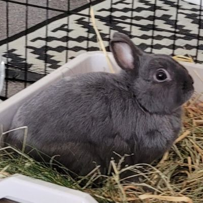 Adopt A Rabbit: Loki - Male - Clarence Valley NSW