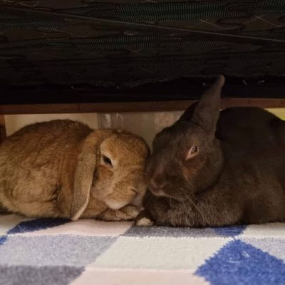 Adopt A Rabbit: Peter and Fluffy - Male - Inner West Sydney