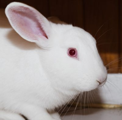 Adopt A Rabbit: Spinna - Male - Newcastle and Lake Macquarie NSW