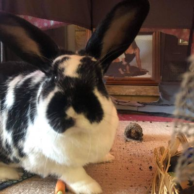 Adopt A Rabbit: Sweet Pea and Missy Moo Girl - Male - Pennant Hills NSW