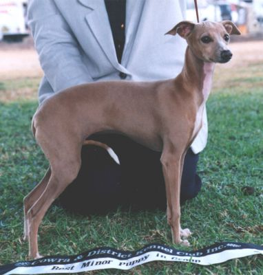 The Pet Directory Australia - Dogs Italian Greyhound