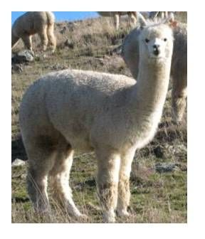 Alpaca Stylish White Female