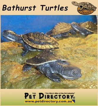 Baby Macquarie River Turtles for SALE!