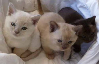 Burmese Kittens Available Cat Classifieds The Pet Directory The Pet Directory