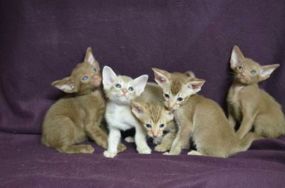 Cinnamon Ticked Tabby and Classic Tabby Oriental kittens.