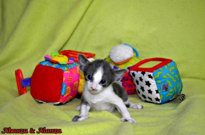 Blue White Ticked Oriental Cat Classifieds The Pet Directory The Pet Directory