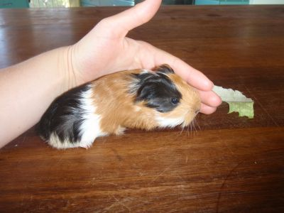 Sheltie Cavies For Sale