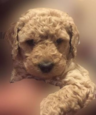 Apricot Poodle Puppy Blue Collar