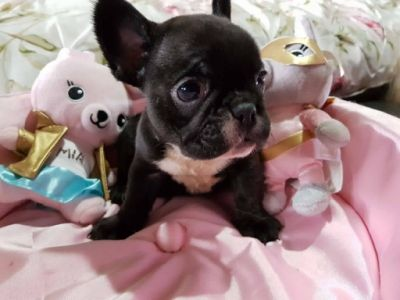 Baby French Bulldog Puppies Penrith