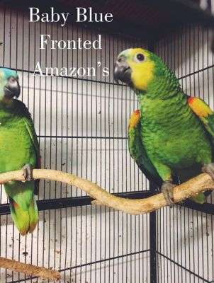 Blue Fronted Amazons