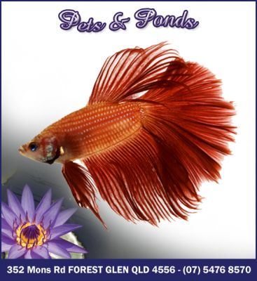 Top quality Beta Fighter fish for SALE!
