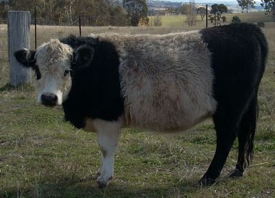 Miniature Galloways
