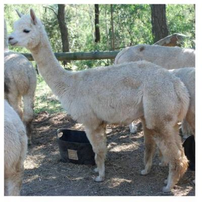 Alpaca Lovely White Pregnant Female