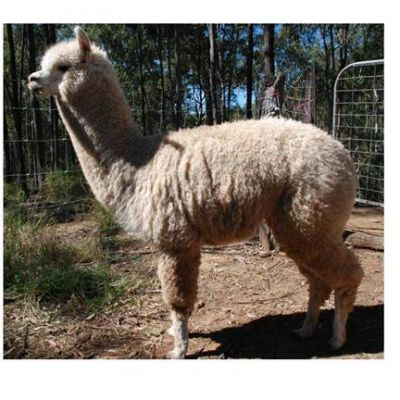 Alpaca Lustrous White Young Male