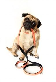 Need someone to walk your dog? Call Advanced Pet Sitting today on 1300 USE APS (873 277)!