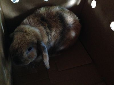 MINI LOP RABBIT FOR ADOPTION