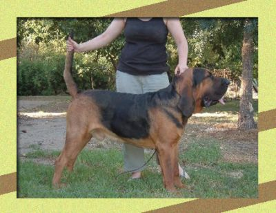 Centitout Bloodhounds : Bloodhound : Breeders : Dogs : Pet ...